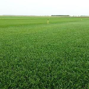 沈河草坪-病蟲害低的草坪出售