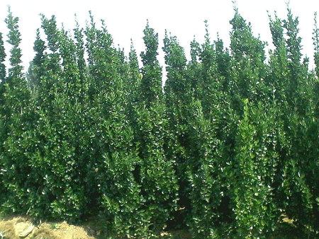 陕西北海道黄杨哪里有-潍坊划算的北海道黄杨供应