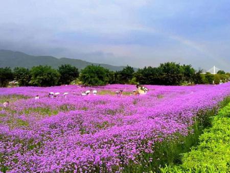 马鞭草培育基地-青州马鞭草种植基地-青州马鞭草培育基地