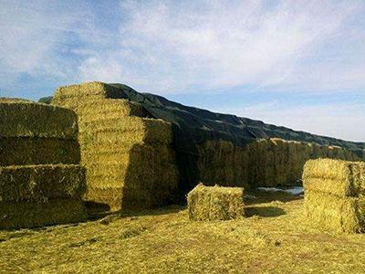 甘肃牧草,拉萨紫花苜蓿,定西苜蓿草身上黑光爆�W而起粉,甘肃牧草厂家