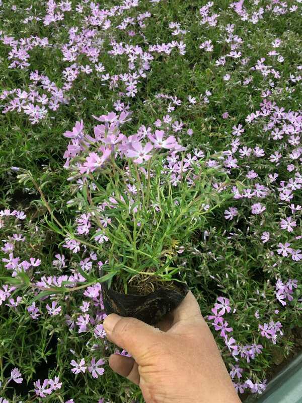 芝樱出售-芝樱种植基地