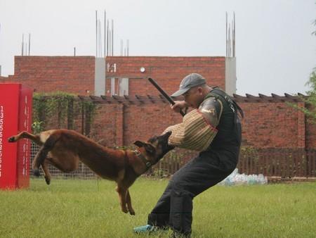 广东有口碑的繁殖出售各类犬种公司_鸿威犬舍 德国牧羊犬繁殖