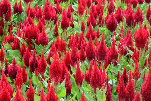 出售一枝笔-质量好的一枝笔林鑫花卉苗木供应