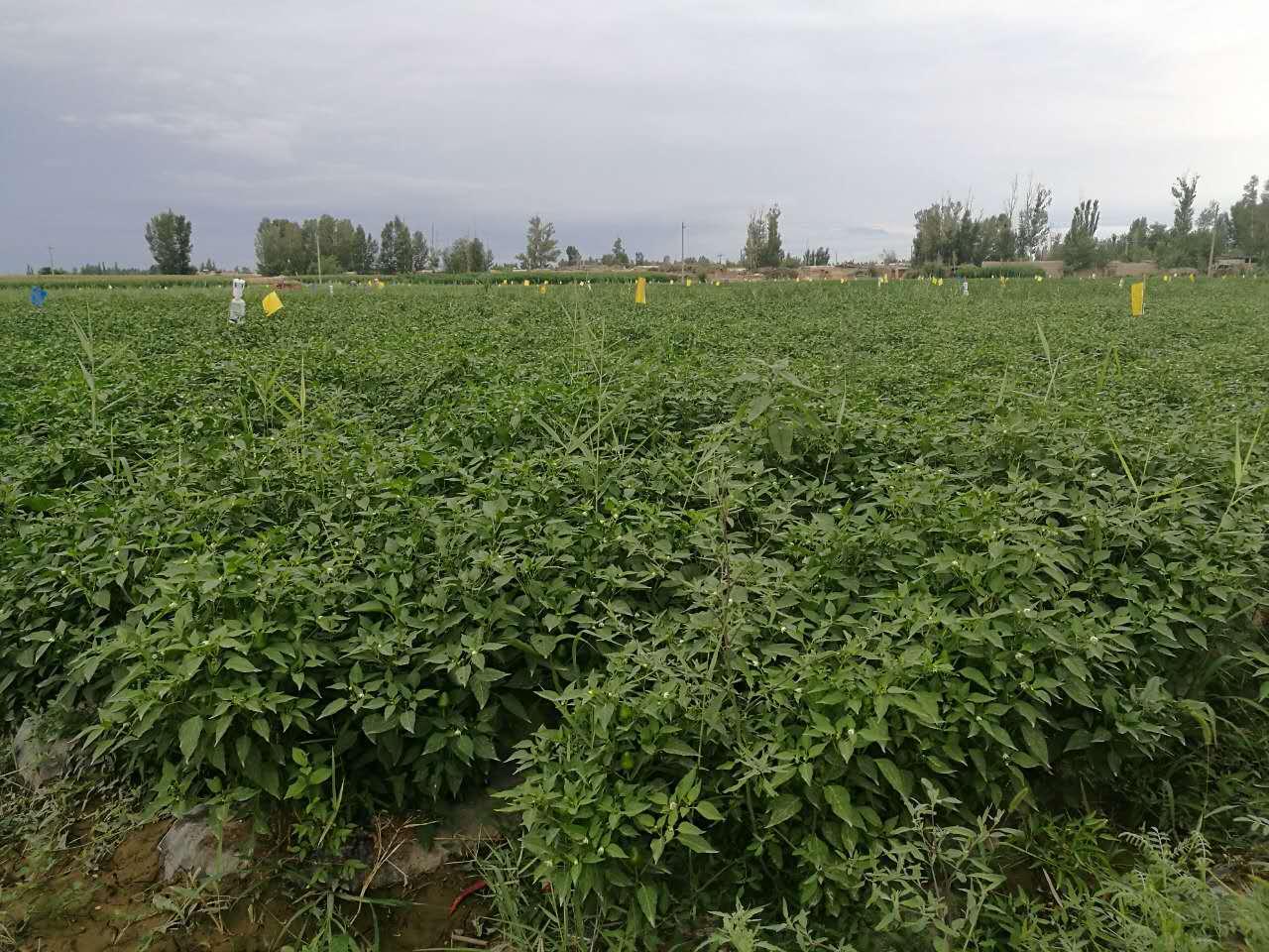 酒泉辣椒育苗哪里有-临夏蔬菜采摘哪里有-临夏蔬菜采摘多少钱