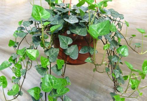 长春藤小苗|长春藤种植基地