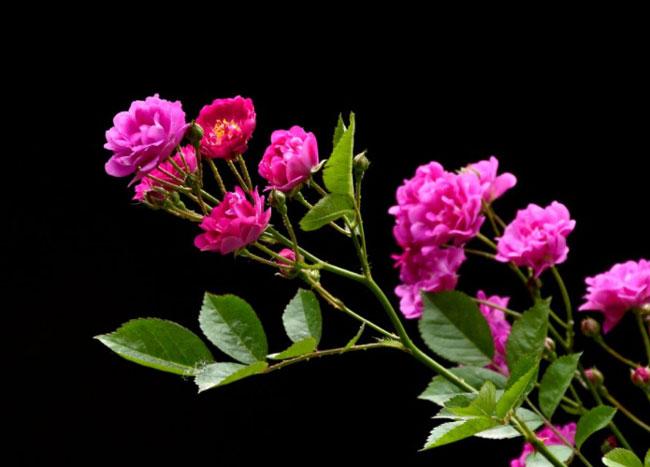 蔷薇小苗|蔷薇批发|蔷薇供应商