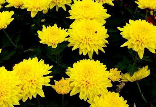 大菊花哪家好,大菊花种植基地,大菊花哪里卖