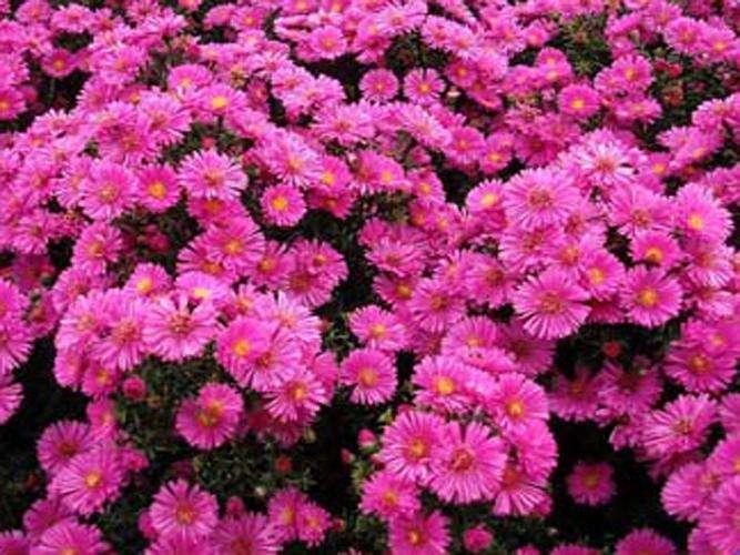 荷兰菊种植基地,荷兰菊供应商,荷兰菊