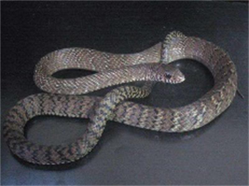 蛇类防治方案-想找有品质的蛇类防治-就来桥信白蚁公司