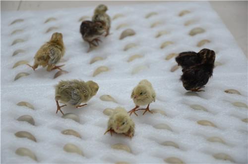 白色芦丁鸡好养吗-家养※芦丁鸡鸡苗-家养芦丁鸡养殖项目加盟