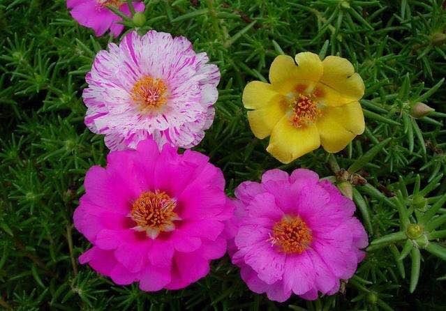 太陽花小苗 太陽花供應 太陽花哪里賣