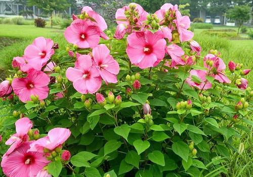 大花秋葵种植基地,大花秋葵培育基地,大花秋葵基地