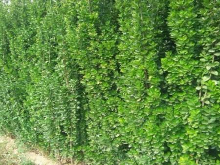 才华馥比仙——北海道黄杨哪家好——北海道黄杨种植基地