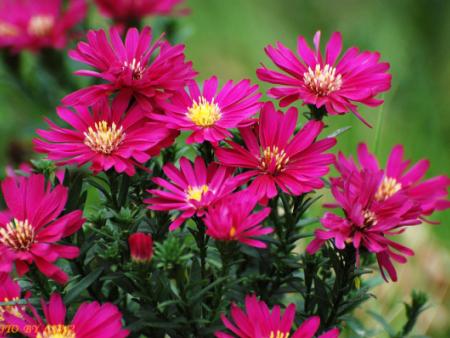 荷兰菊培育基地,荷兰菊种植基地,荷兰菊基地