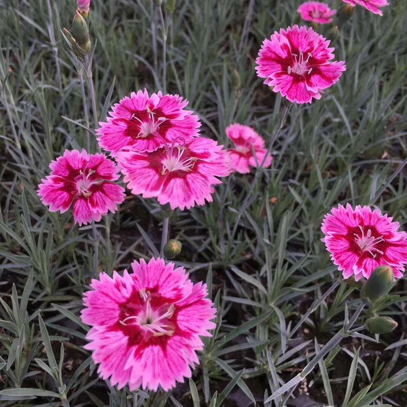宿根花卉基地