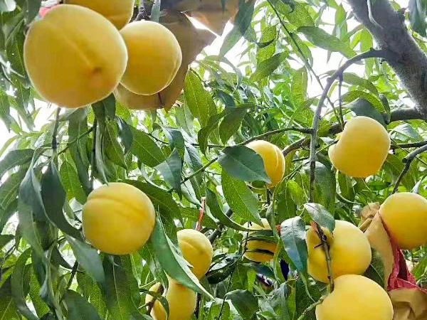 桃子有什么吃法     南阳桃花源采摘园