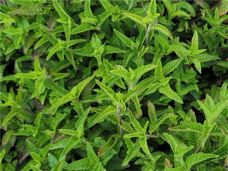 划算的仙草叶-潮汕仙草叶子发白-仙草叶素描