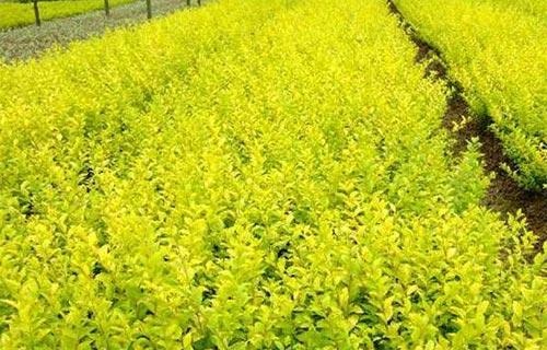 杯苗北海道黄杨,上盆北海道黄杨,上盆北海道黄杨基地