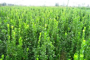 潍坊北海道黄杨-河北北海道黄杨种植基地-河北北海道黄杨供应