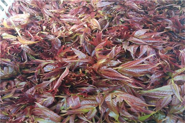紅油香椿基地-大棚紅油香椿廠家-大棚紅油香椿公司