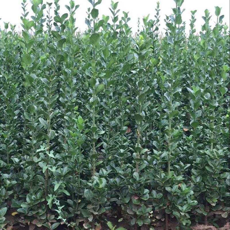 青州绿化苗木,绿化苗木种植基地
