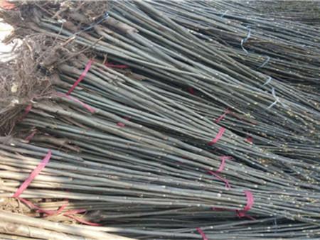 红香椿苗的种植方法——红香椿苗园艺场——韵竹