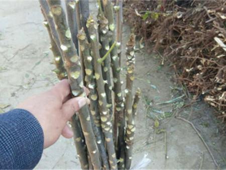 怎样可以培育出好的香椿苗——香椿苗基地【韵竹】