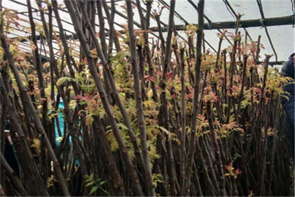 红香椿苗的管理方法——红香椿苗苗圃——韵竹
