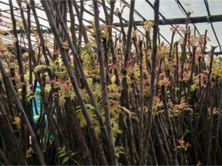 红香椿苗的生长环境——红香椿苗园艺场——韵竹