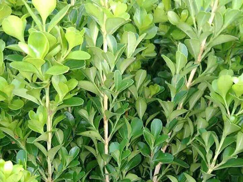 黃楊種植-山東哪家黃楊供應商好