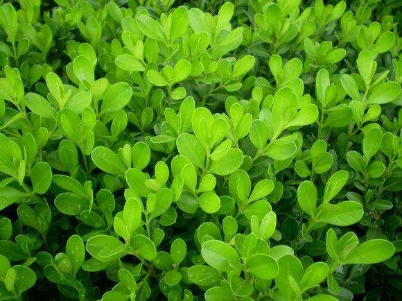 小叶黄杨培育基地-绿化用小叶黄杨批发-绿化用小叶黄杨种植基地