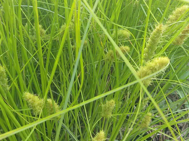 毛毛虫苔草,毛毛虫苔草价格,毛毛虫苔草多少钱