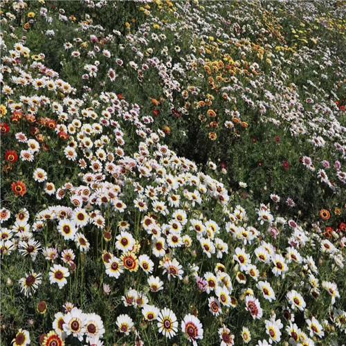 天人菊种植基地