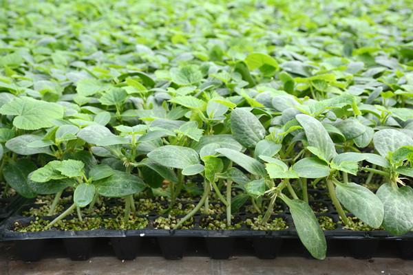 抗線蟲西紅柿種子價格-青島西紅柿種苗價格-濟南西紅柿種苗批發