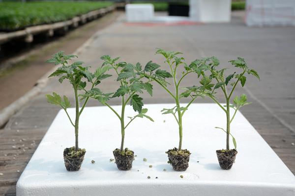 抗线虫番茄种子,番茄种子,西红柿种子