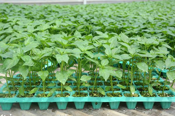 抗死棵西红柿苗,番茄种子,抗线虫番茄种子