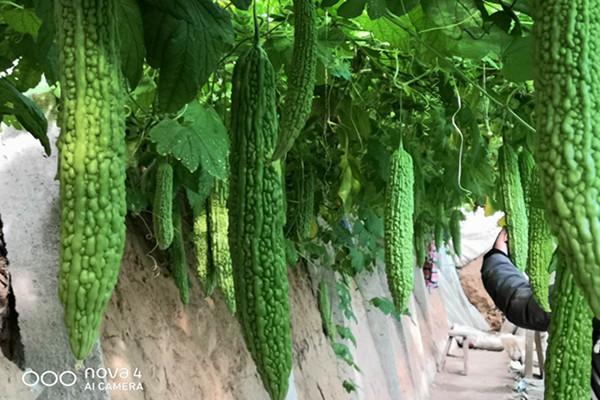 山東蔬菜種子-濟南苦瓜種子價格-濟南苦瓜種子哪家好