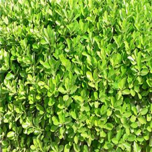 北海道黄杨种植基地