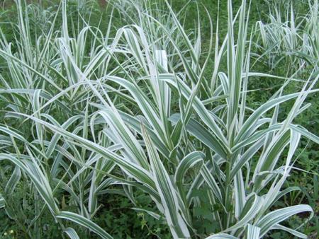 花叶芦竹种植基地
