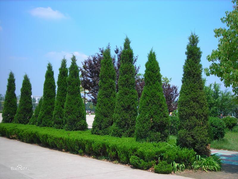 龙柏种植基地