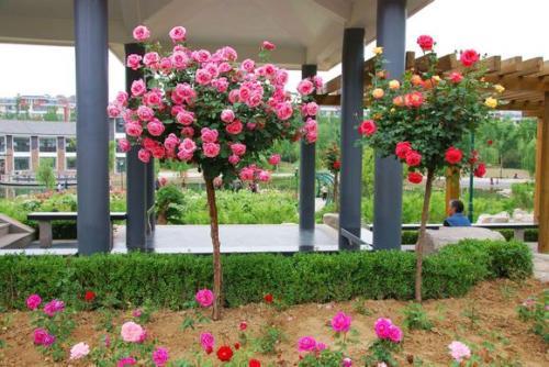 大花月季种植基地