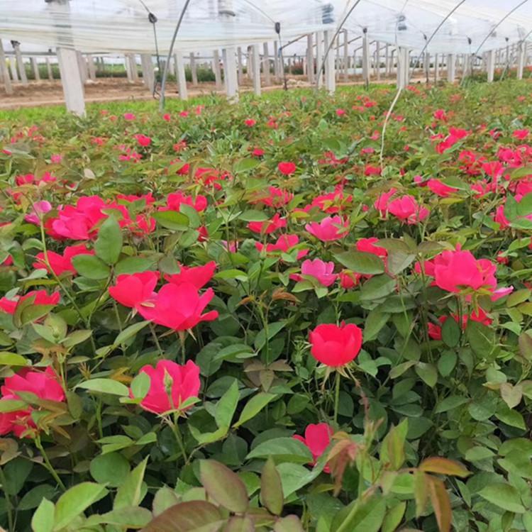 大花月季供应商-新疆花卉小苗-内蒙花卉小苗