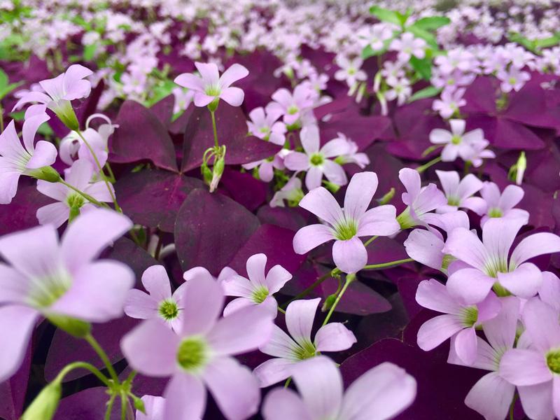 紫叶酢浆草价格,紫叶酢浆草供应商,紫叶酢浆草供应