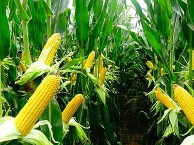 青贮玉米_玉米种子销售批发_品种大全找甘肃恒有农业
