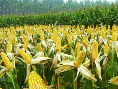 甘肃青贮玉米种子-西宁玉米种子-西藏玉米种子