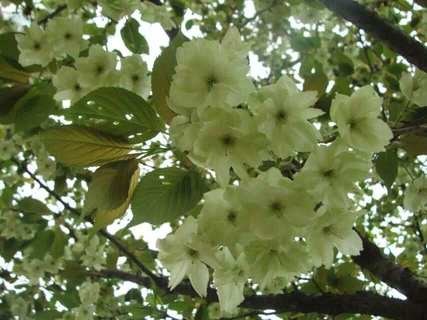 郁金樱花苗培育基地-想要郁金樱就来绿影园林