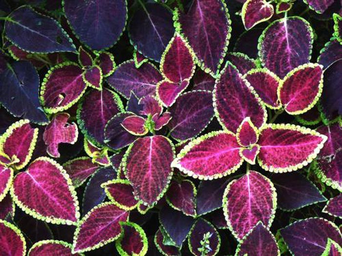山东彩叶草-想买合格的彩叶草-就到赛禾花卉