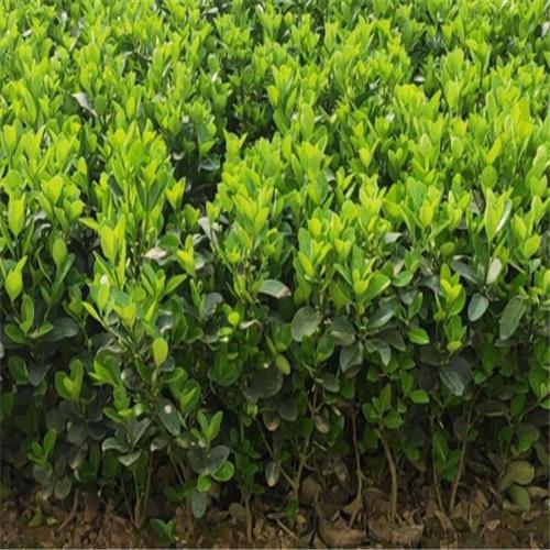 冬青球供應商-江蘇瓜子黃楊多少錢-江蘇瓜子黃楊種植基地