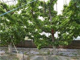 桑提娜樱桃树