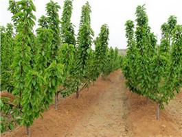 跟着感觉走:布鲁克斯樱桃树栽培技术//布鲁克斯樱桃树育苗基地